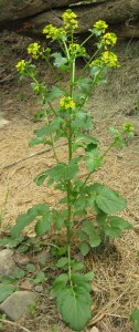 Winter cress blooms in early spring with, four- petaled, yellow flowers typical of many mustard family plants.