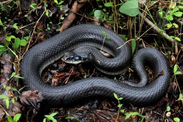hognose-snake600x300