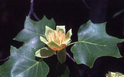 poplar-flower-and-leaf