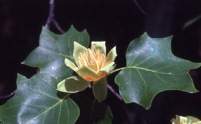 poplar-flower-and-leaf