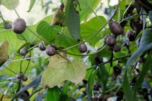 Air potatoes on the (cinnamon) vine