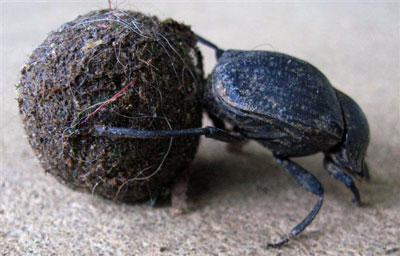 """One of our neighborhood dung beetles hard at work rolling a """"sacred chamber of potential."""
