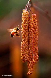 The pollen-bearing catkins can be an important source of protein for the growing honeybee larvae as colonies expand in Spring.