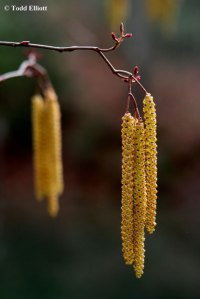 Alder catkins and pistillate flowers
