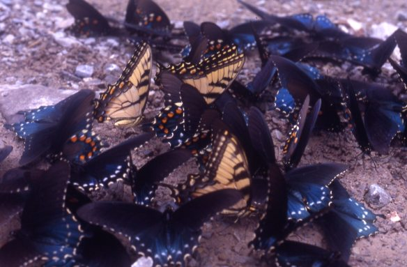 These three tiger swallowtails and more than a dozen pipevine swallowtails are imbibing sodium rich moisture from a patch of earth (probably moistened by urine). These are all males acquiring a nuptial gift to pass on to the females during mating. Along with his sperm, he also fortifies her with a mineral supplement.