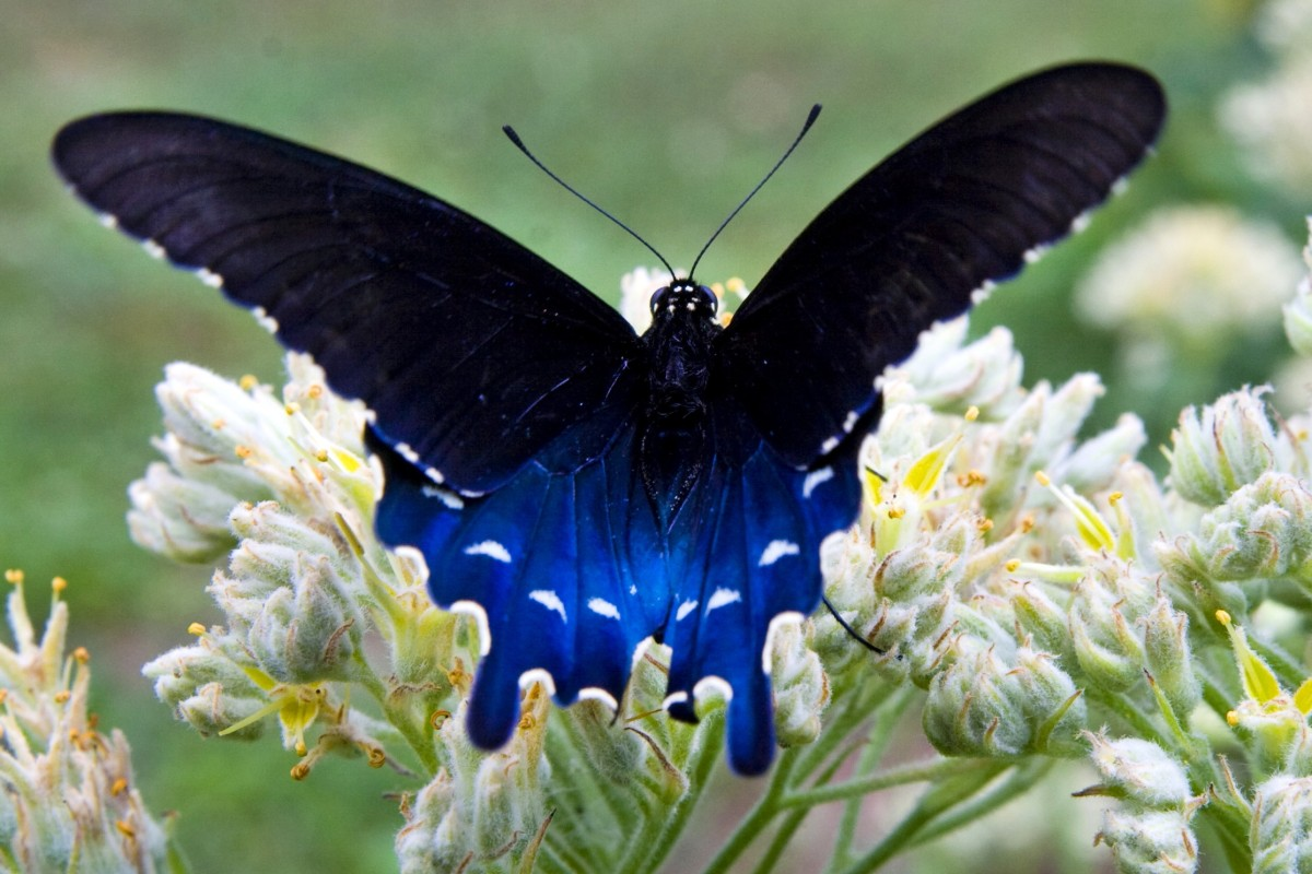 The Pipevine Swallowtail A Distasteful Beauty Doug