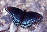 Red-spotted purple © Todd Elliott
