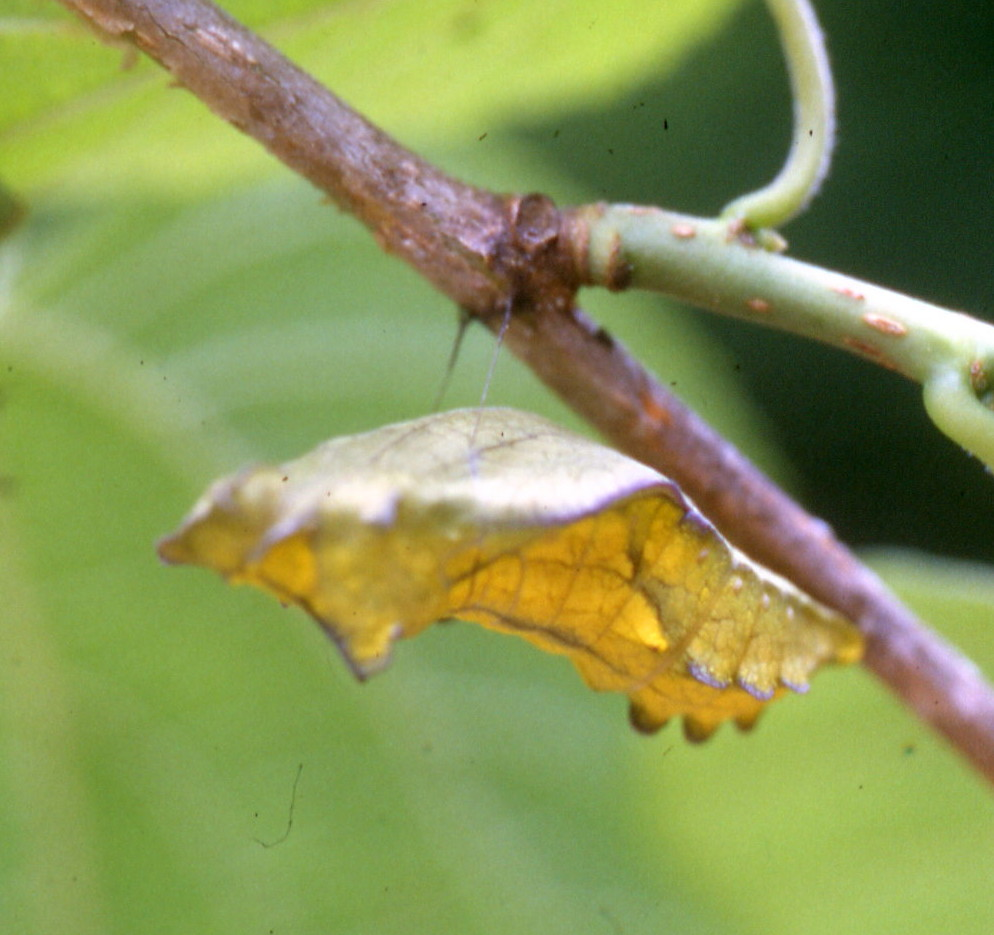 pipevine pupa,,